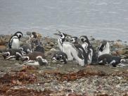 05 wilderness07 Magellan Penguins