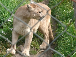 05 wilderness10 mountain lion