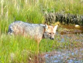 05 wilderness11 red fox