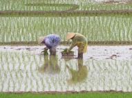 blog2 06 rice paddy fields
