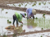 blog2 07 rice paddy fields