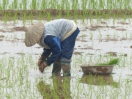 blog2 08 rice paddy fields