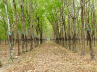 blog5 15 rubber plantation