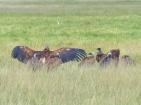 blog3-10 Amboseli-vultures