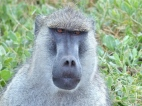 blog3-11 Amboseli-baboon