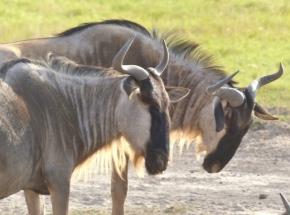 blog3-16 Amboseli-wildebeest