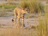 blog3-20 Amboseli-cheatah