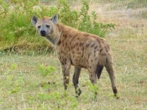 blog3-28 Amboseli-hyena