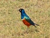 blog3-30 Amboseli-superb starling