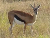 blog3-31 Amboseli-Thomson's gazelle