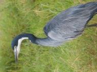blog3-32 Amboseli-black-headed heron