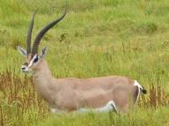 blog3-33 Amboseli-Grant's gazelle