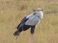 blog3-34 Amboseli-secretary bird