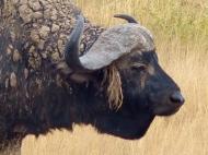 blog3-35 Amboseli-cape buffalo