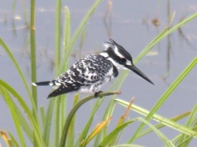 blog3-37 Amboseli-pied kingfisher-photo Gillian Burley