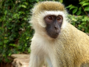 blog3-38 Amboseli-vervet monkey