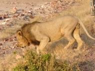 blog4-03 lion at last