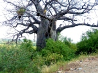 blog4-16 Lake Manyara - 500 yr old baobab tree