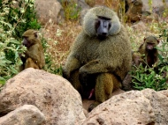 blog4-20 Lake Manyara - baboon grandad