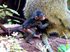 blog4-21 Lake Manyara - barboon grandson