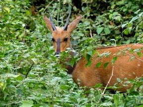 blog4-22 Lake Manyara - bushbuck