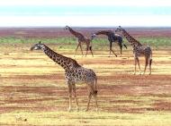 blog4-23 Lake Manyara - giraffe