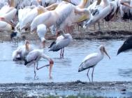 blog4-26 Lake Manyara -pelicans & herons