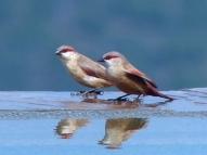blog4-30 Lake Manyara - crimson-rumped waxbill