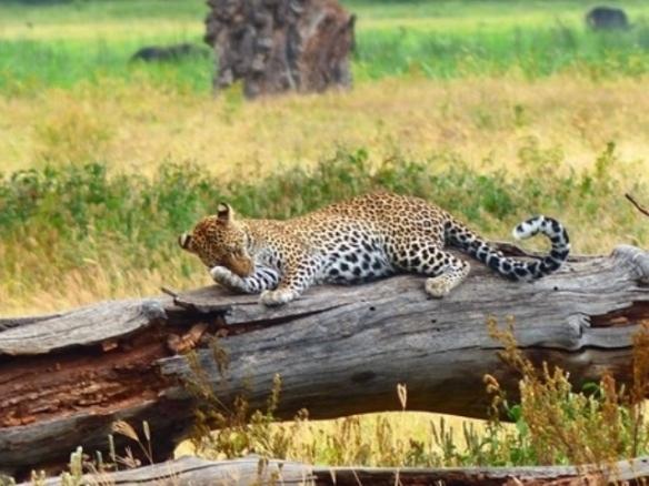 blog5-23 leopard