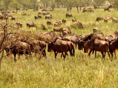 blog6-09 Serengeti