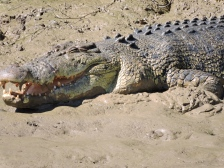 05b crocodiles07
