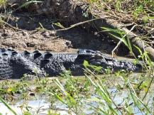 05b crocodiles15