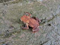 This tiny frog was less than one centimetre long!