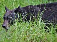 05-11 bear-hunt