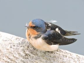 05-15 starling chick