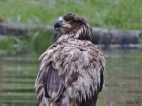 05-17 bald eagle-juvenile