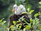 05-18 bald-eagle