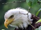 05-19 bald-eagle