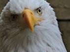 05-20 bald-eagle