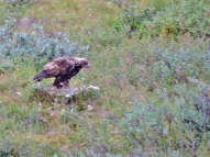 Juvenile golden eagle.
