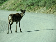 A caribou-crossing?