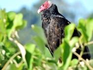 08-09 Iguazu - turkey vulture (800x600)