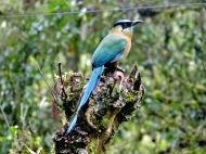 11-03 birds of the cloud forest-Motmot (800x600)