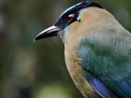 11-04 birds of the cloud forest-Motmot (800x600)