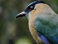 11-04 birds of the cloud forest-Motmot (800x600)