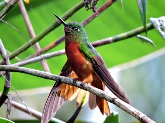 11-12 birds of the cloud forest-Hummingbird (800x600)