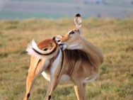 This IMPALA, beautifully marked and coloured, needs someone to scratch her itch.