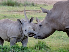 Ugly, prehistoric and endangered, RHINOS are still fully capable of tender mother-love.