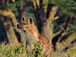Much maligned HYENAS are hunters/scavengers, and help keep the game-parks clean.