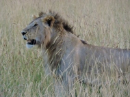The big cats all know how to hide, and we never knew this male LION was there until he popped up out of the long grass.